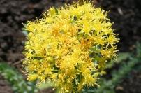1124px-Rhodiola_rosea_flowers_wiki2