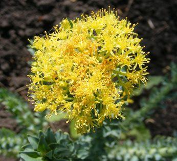 1124px-Rhodiola_rosea_flowers_wiki