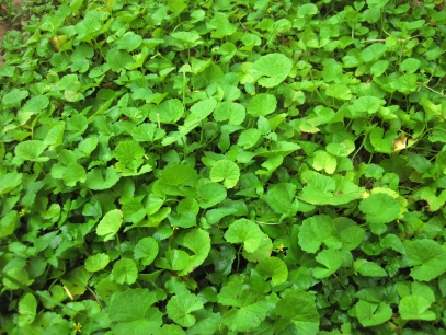 Asiatic_Pennywort_wikicommons