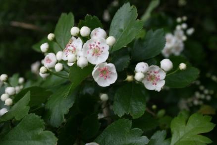 Crataegus-oxyacantha-flowers_wikicommons