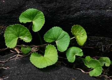 Gotu Kola (Centella Asiatica) Overview, Health Benefits, Side effects (3)