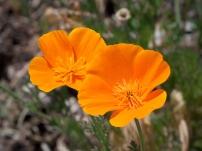 Kaldari_Eschscholzia_californica_02_wikicommons