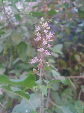 Ocimum_tenuiflorum_(Tulsi)_Flower.jpeg_wiki.jpeg