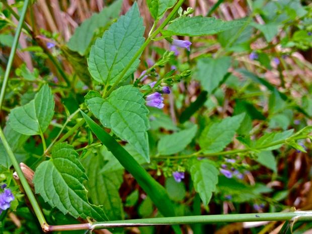 Scutellaria_lateriflora_-_Blue_Skullcap
