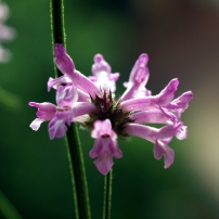 Secondary_stemflower_Betonica_officinalis_high_mountain_variety_Orjen_-_Montenegro_wiki