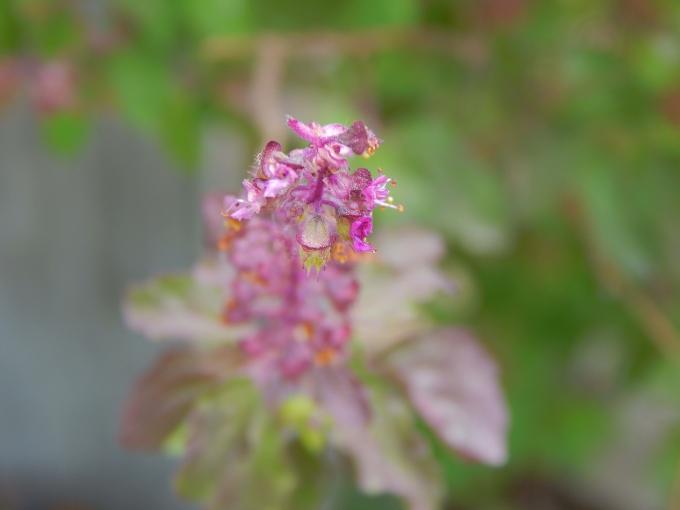 Tulsi_Flower_wiki.jpg