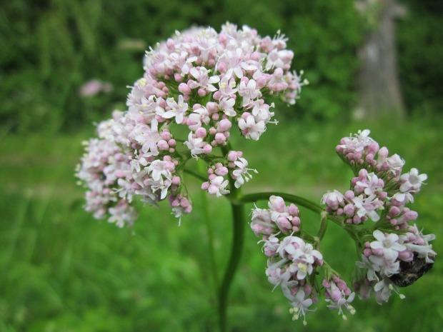 valeriana-officinalis-846615_1280
