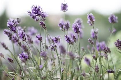 lavender-399273_wiki