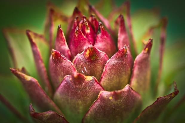 Plant Ordinary House Turmeric Houseleek