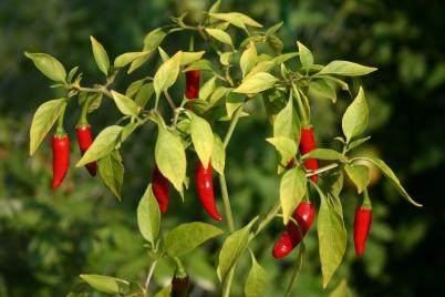 capsicum_peppers.jpg