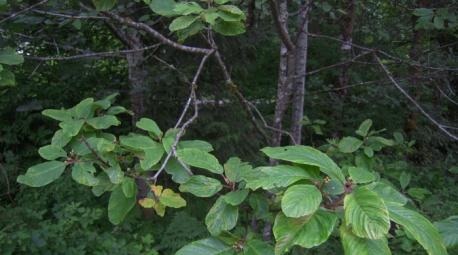 cascara-sagrada-sacred-bark