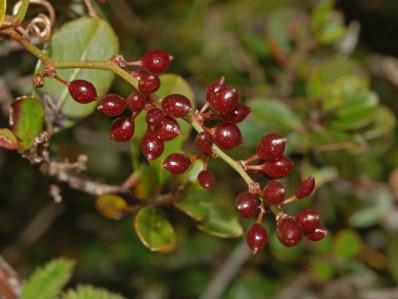 Smilacaceae_-_Smilax_aspera_-_Salsapariglia