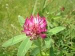 Trifolium_pratense_05_wiki