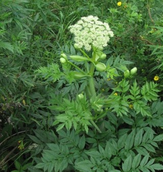 Chinese Angelica (Angelica Sinensis syn. A. Polymorpha) Overview, Health Benefits, Side effects (1)