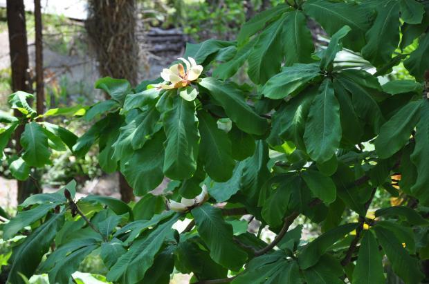 Magnolia_officinalis_Houpu_Magnolia_სამკურნალო_მაგნოლია_(2).JPG